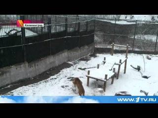 В калининградском зоопарке амурская тигрица катает снежки