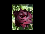 «розы» под музыку Виктор Королёв - Алая роза. Picrolla