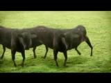Видео коровы movsum !!! — Видео@Mail.Ru_0_1442359477157