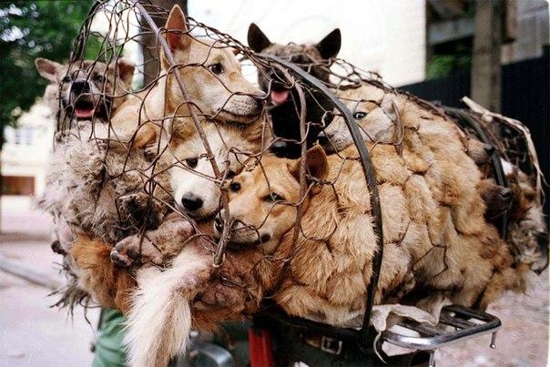 В последнее десятилетие в России стали чаще есть собак, - Роспотребнадзор - Цензор.НЕТ 3646
