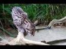 Fishing cat kittens Prionailurus viverrinus