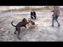 Собачьи бои Булли кутта VS стафф
