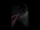 кошка лижет чуп-чупс