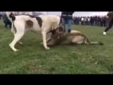 Malakli VS CAO (Малакли Касап - Алабай собачьи бои)