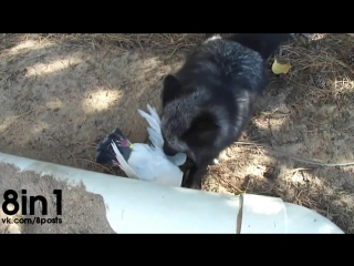 Лиса Луна ехидно смеётся над убитым голубем  / Luna the Red (silver) fox, gets a pigeon flavored treasure!
