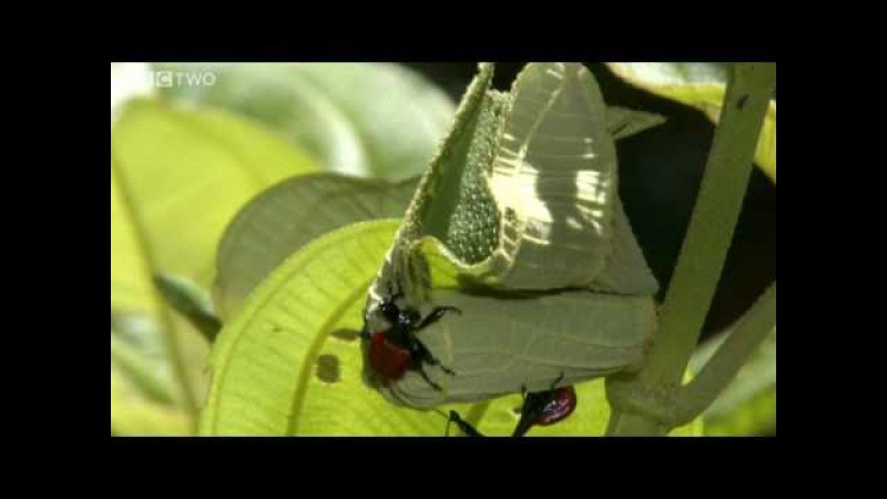 Bizarre Giraffe-Necked Weevils Fight for a Mate - Madagascar, Preview - BBC Two