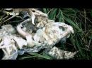 Секретные материалы природы (Взрывоопасные жабы)
