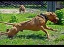 Собачьи БОИ Алабай vs Питбуль/Dogfights Alabai vs Pitbull