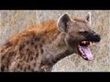 Королева Гиен,Hyena Queen