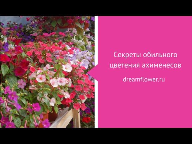 Ахименес секреты обильного цветения