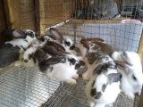 Самка кролик породы бабочка выкормила 13 крольчат.