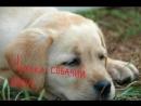 500900-Видео Чумка собачий вирус