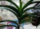 Орхидея Ванда - 1.Уход и полив. Фалинопсис, Мильтония, Дендробиум, Камбрия, Цимбид ...