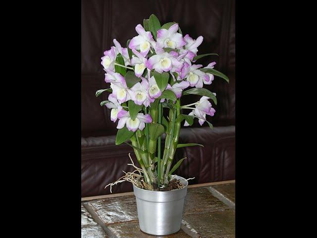 Орхидея Дендробиум отцвела: пересадка