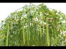Культурные растения Люффа