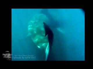 Живой мегалодон - подводная съёмка, 2015 год