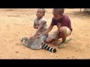 Лемур хочет, чтобы дети не прекращали его гладить  A lemur demand to be petted  by kids
