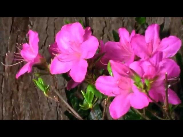 Дуэт цветов из оперы Лакме Л.Делиба
