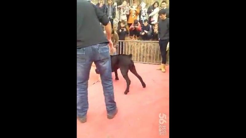 Собачьи бои кане корсо vs аргентинский дог
