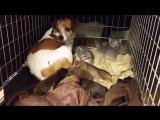 Собака Воспитывает Котят Как Мать.У котят пропала кошка-мать. И на себя взала ответственность в воспитании собака. Это еще раз д