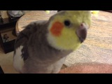 Cockatiel Sings Adams Family and Darth Vader theme song, and says What you doing.
