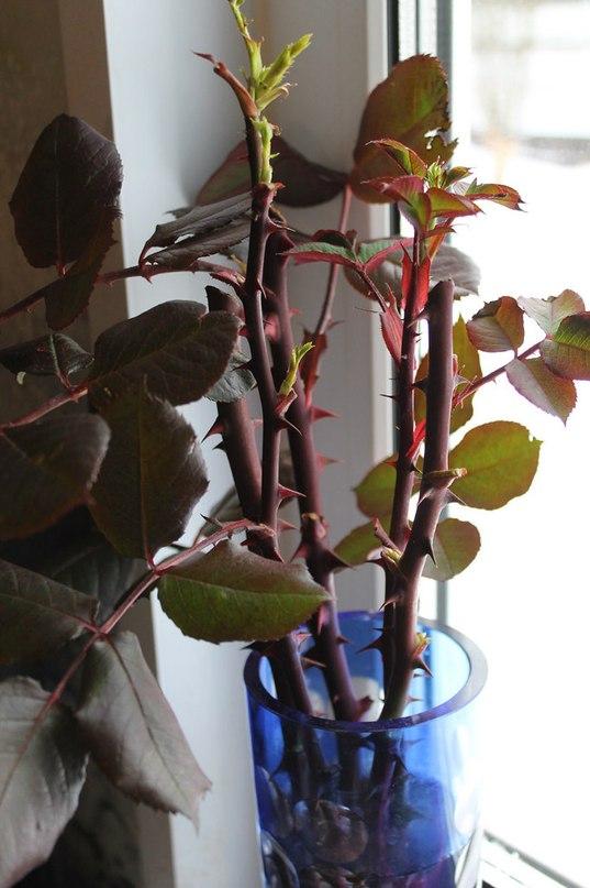 Розы: черенкование и размножение садовой розы осенью в домашних условиях