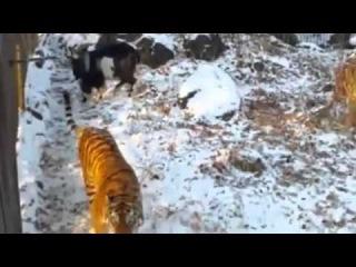 Необычная дружба тигра Амура и козла Тимура в Пермском сафари-парке