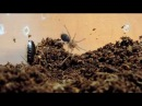 Часть 2 Brachypelma albopilosum Nauphoeta cinerea