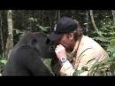 Встреча человека с гориллой которую он вырастил