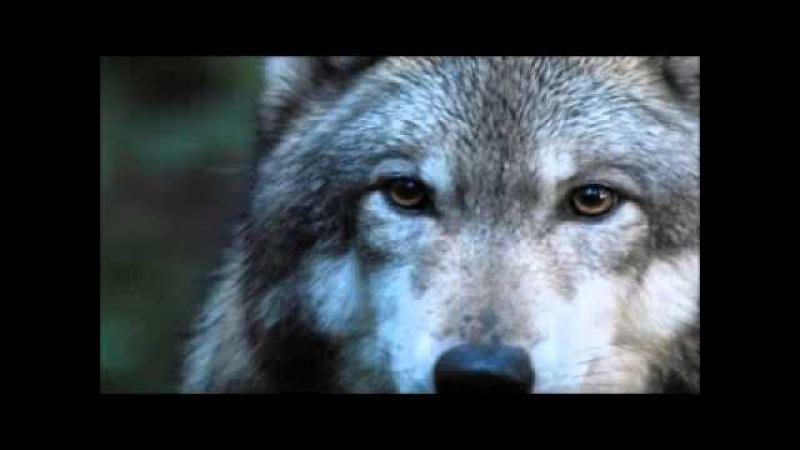 Любовь Волка и Волчицы