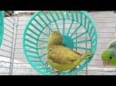Green-Fallow Parrotlet Toy Hamster Wheel - Parrotletbirds
