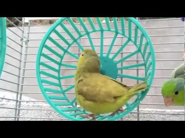 Green-Fallow Parrotlet Toy Hamster Wheel - Parrotletbirds » Freewka.com - Смотреть онлайн в хорощем качестве