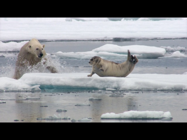 Hungry polar bear surprises a seal The Hunt Episode 2 Preview BBC One