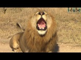 Powerful Roar Of A Majestic Wild African Male Lion