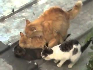 Групповое спаривание котов. Приколы с животными