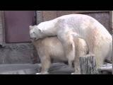 Спаривание белых медведей в зоопарке. Приколы с животными