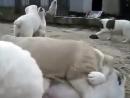 Жесткие собачьи бои. _)
