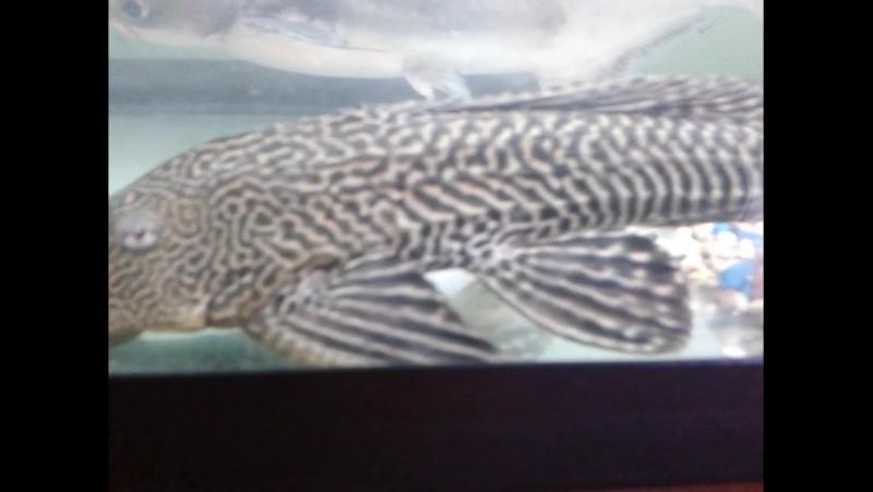Мої риби монстри, екзоти, хижаки Амазонки полюють та обідають