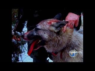 Фильм про охоту на кабана #2 | Интересная охота на кабана загоном, с подхода