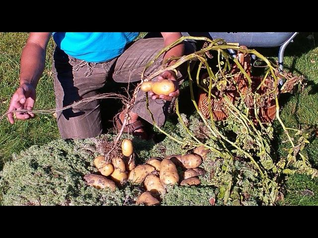 картофель озимый под сено и мох 2 часть
