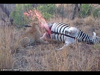 Gruesome Moment Dead Zebra Sprays Leopard With Blood