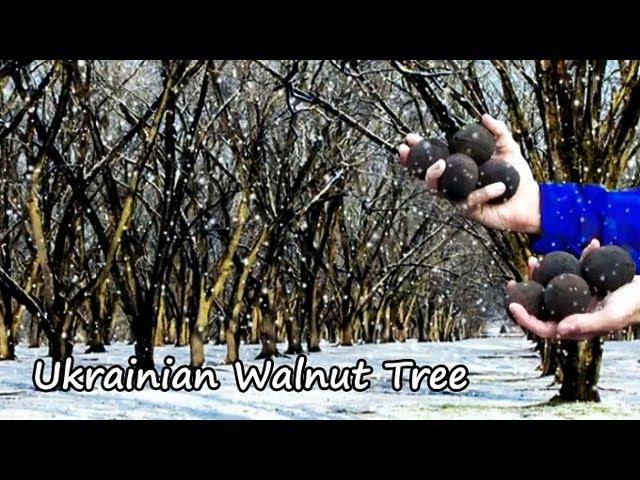 Ukrainian Walnut Tree Цікава реклама українських горіхів для американського ринку. Позиціонування горіха в першу чергу як морозо