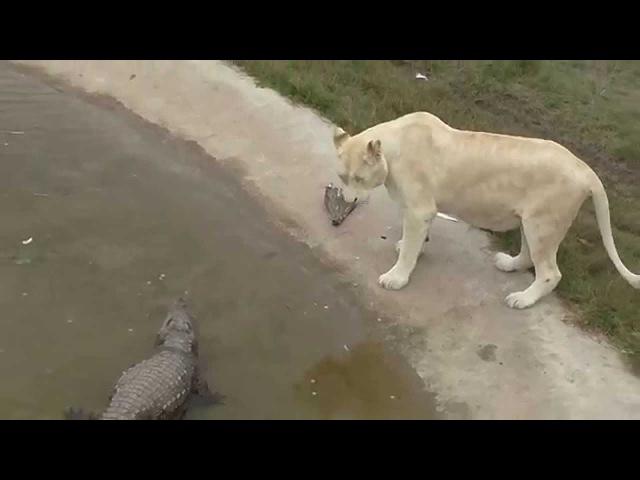Львица встречает маленького крокодила
