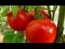 Выращивание томатов. Технология изобилия урожая (по методу Миттлайдера) 2