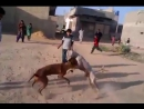 Собачьи бои питбуль терьер vs гуль терьер