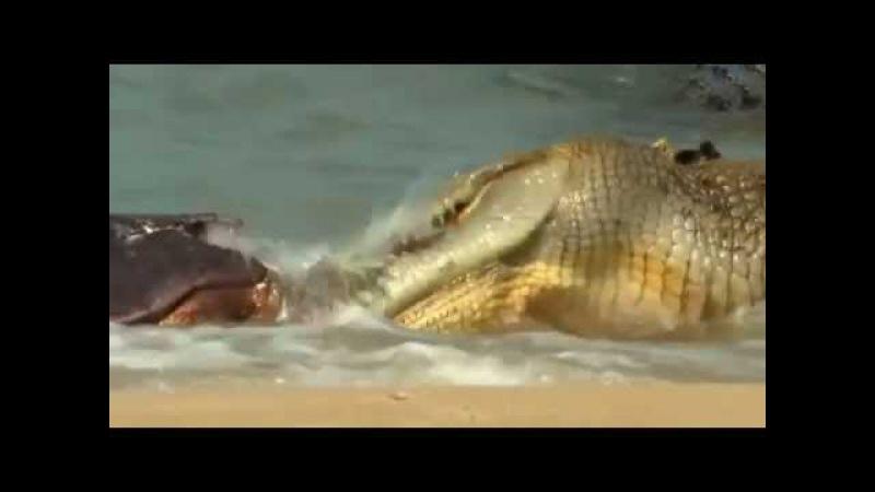 Крокодилы доминируют над акулами, Crocodiles dominate over Sharks