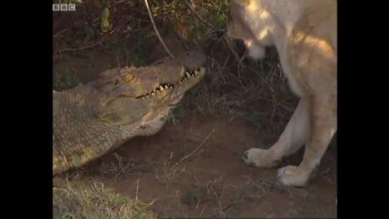 Львицы атакуют нильского крокодила