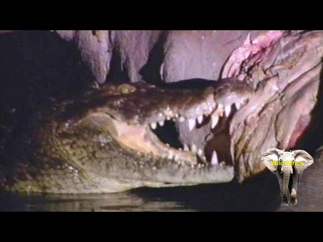 Гиены боятся присутствия нильского крокодила у туши бегемота