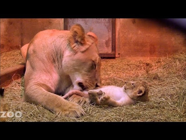 Sit Down With Lion Cubs at Woodland Park Zoo Seattle