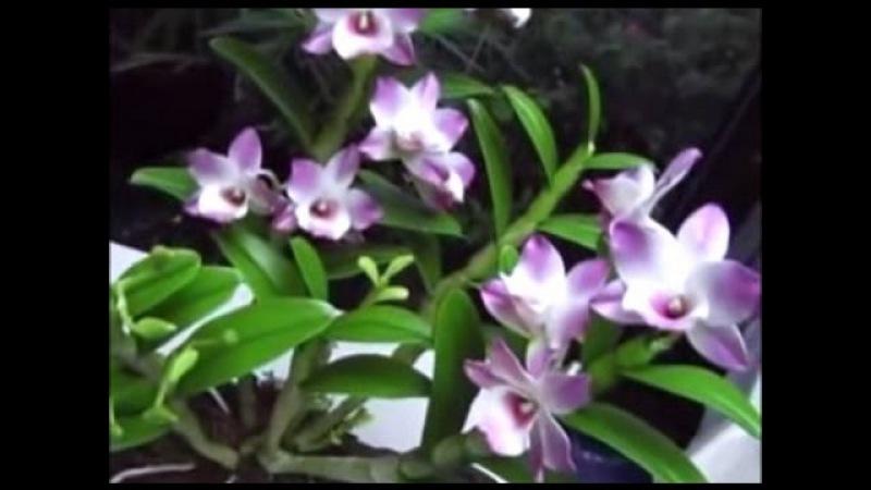 Dạy cách làm hoa đất Nhật Bản - Hoa Hoàng Lan Phần 1